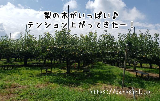 大豊農園の梨の木
