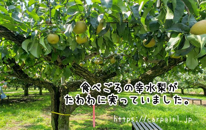 大豊農園 梨がたわわに実っています