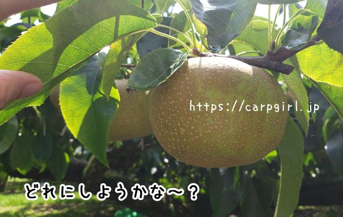 世羅の大豊農園の梨狩り
