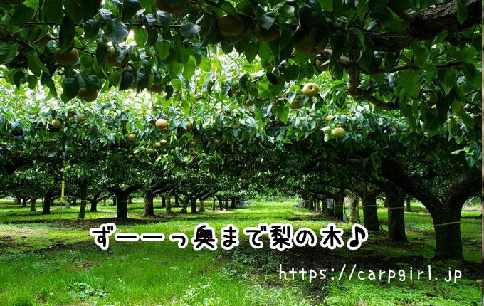 大豊農園の梨園は広い